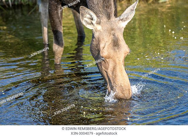 A moose drinks from a water hole, Grand Tetons National Park, Teton County, Wyoming. USA