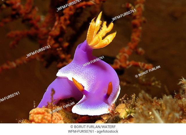 Hypselodoris Nudibranch, Hypselodoris bullockii, Alor, Lesser Sunda Islands, Indo-Pacific, Indonesia