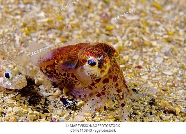 Atlantic Bobtail, Little Cuttlefish (Sepiola atlantica). Eastern Atlantic. Galicia. Spain. Europe