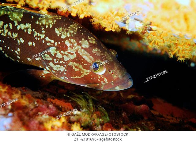 Young dusky grouper looking at a diver from a cave in Corsica. Epinephelus marginatus