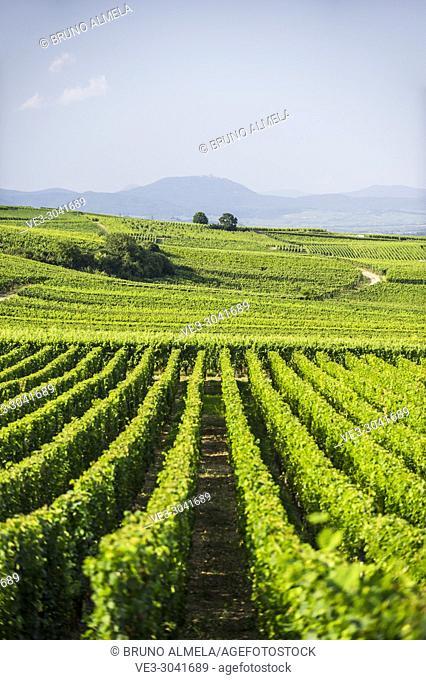 Vineyards near Eguisheim, Alsace (department of Haut-Rhin, region of Grand Est, France)
