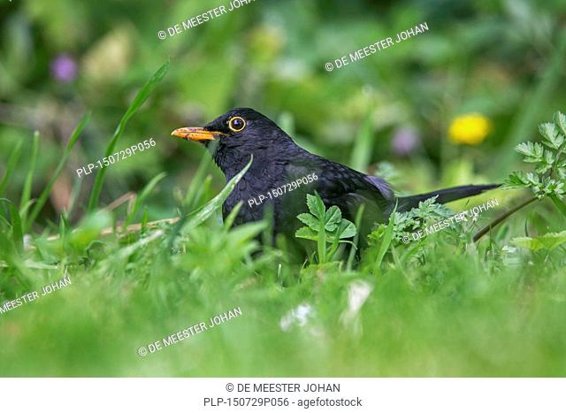 Common blackbird (Turdus merula) male foraging on the ground