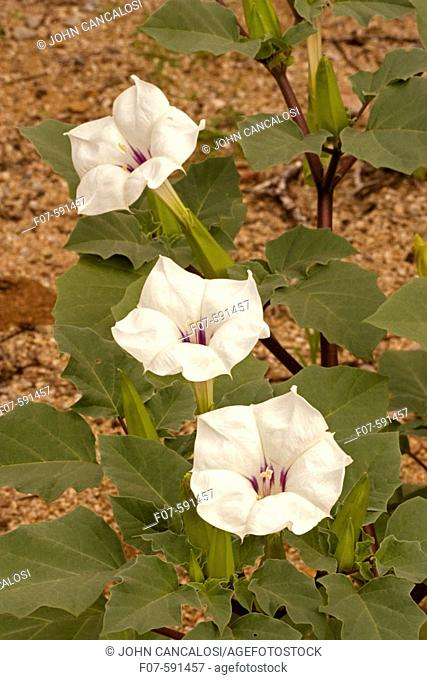 Sacred datura white flower stock photos and images age fotostock jimson weed flowers datura wrightii sonoran desert arizona solanaceae nightshade mightylinksfo