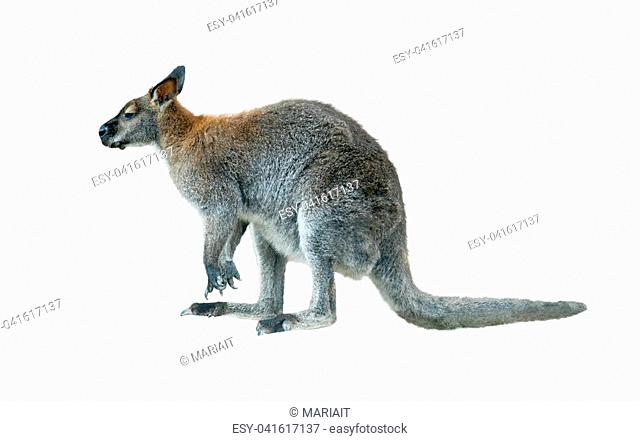 rock wallaby young male isolated over a white