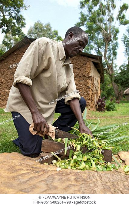 Farmer chopping elephant grass, with homemade knife and block, to feed to housed cow, Kenya, June