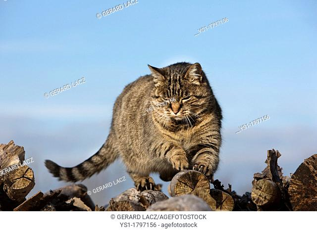 Brown Tabby Domestic Cat, Female Sharpening Claws on Stack of Wood, Normandy