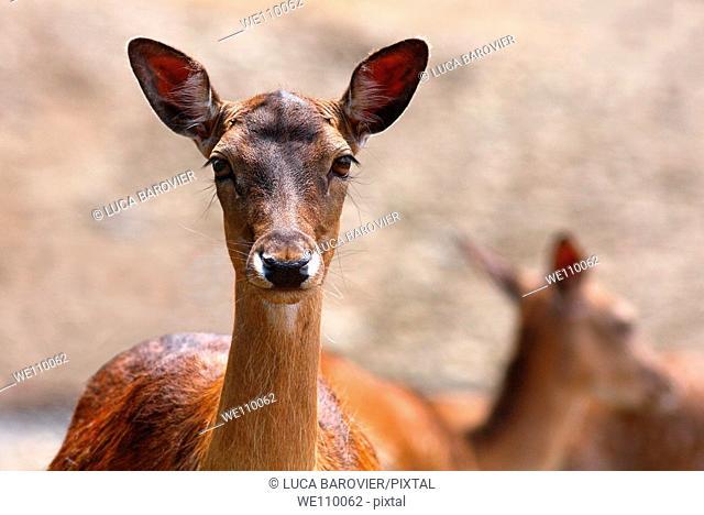 Cervus elaphus - A portrait of a female deer  Parco degli Aironi, Gerenzano, Varese Italy