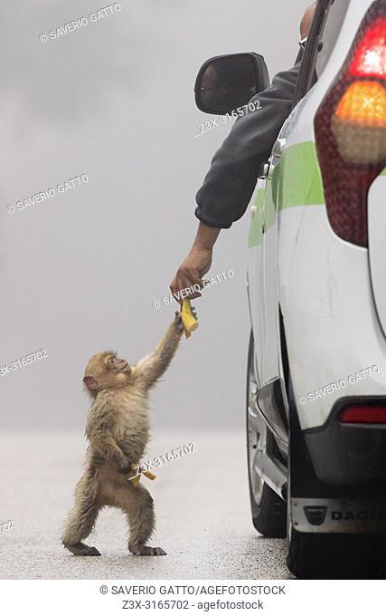 Barbary Macaque (Macaca sylvanus), cub taking food from a human