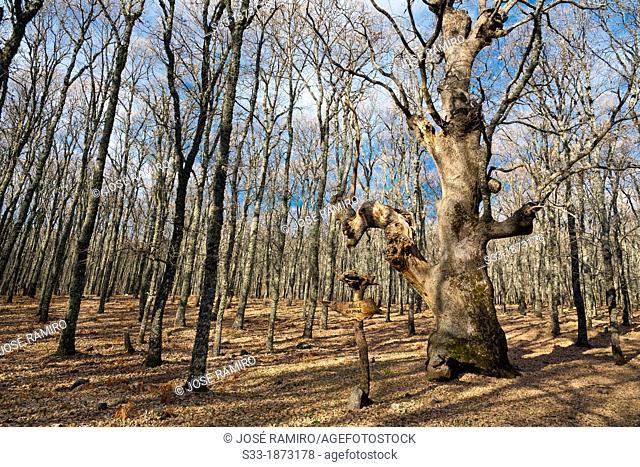 The Big Oak in the Piélago  Navamorcuende  Toledo  Castilla la Mancha  Spain
