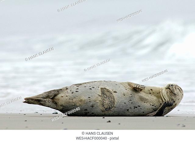 Germany, Schleswig-Holstein, Helgoland, Grey seal, Halichoerus grypus, lying at beach