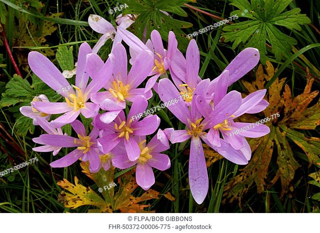 Autumn Crocus Colchicum autumnale flowering, amongst leaves of Meadow Cranesbill Geranium pratense in old hay meadow, Romania, autumn