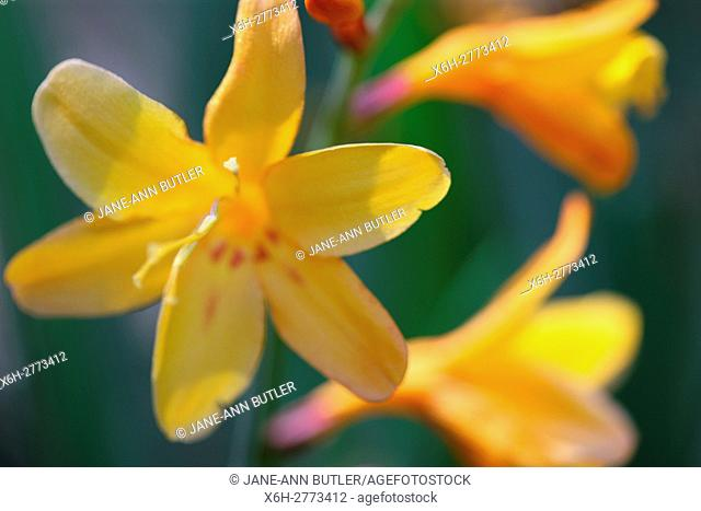 soft focus, colourful yellow montbretia in the summer sun