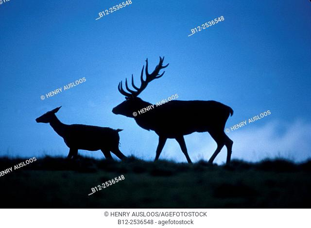 Red deer, Stag and hind, Cervus elaphus, Germany