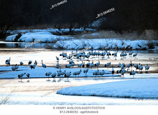 Japanese crane, Red-crowned crane (Grus japonensis), flock in the river before sunrise, Japan