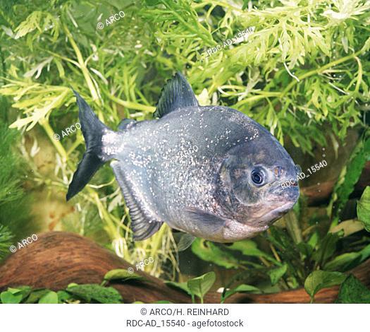 Piranha Serrasalmus ternetzi Aquarium side
