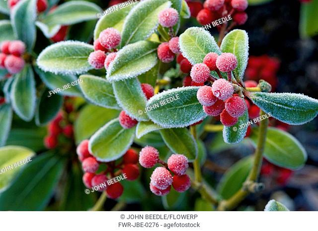 Skimmia japonica, Skimmia, Red subject