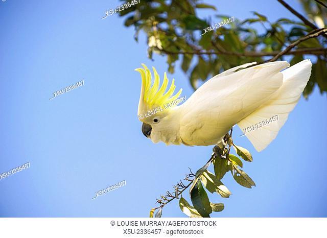 Greater Sulphur-crested cockatoo, Cacatua galerita