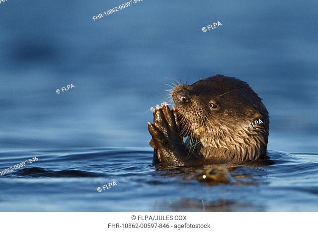 European Otter Lutra lutra adult female, feeding on fish in sea, Isle of Mull, Inner Hebrides, Scotland, december