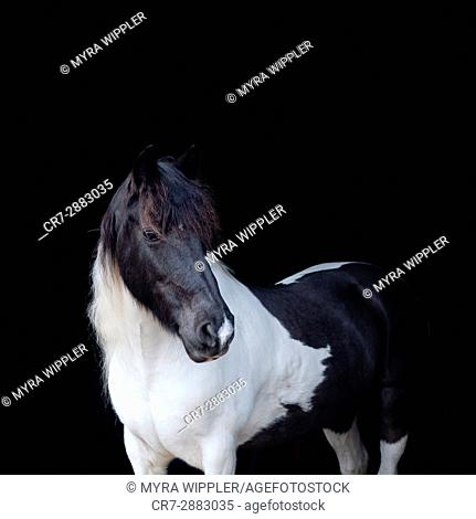 Pinto horse with black and white