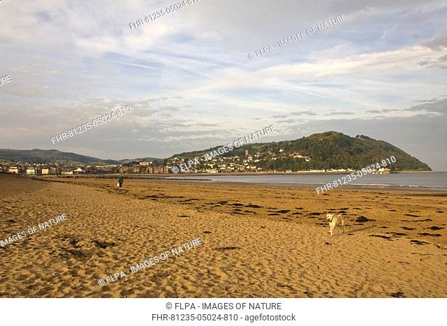 View of imported sandy beach and dog running in early morning, with hills and town in distance, Minehead, Somerset, England, October