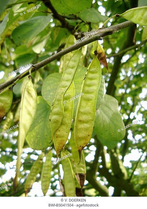 judas tree (Cercis siliquastrum 'Alba', Cercis siliquastrum Alba), young fruits