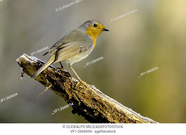 Erithacus rubecula - Robin (Ticino's park, Lombardy, Italy)