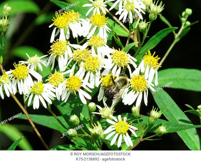 Panicled asters with bumblebee
