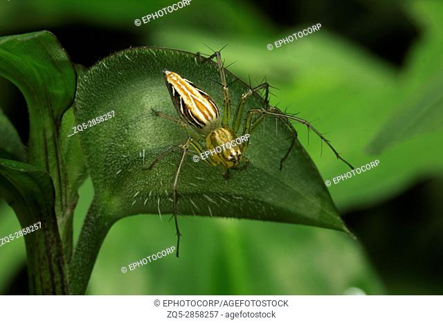 Lynx spider, Aarey Milk Colony , INDIA. Lynx spiders are one of the most common spiders found in garden. They are ambush predators and spend most of their time...