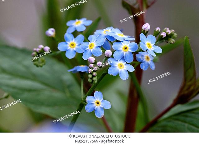 Water Forget-me-not or True Forget-me-not (Myosotis palustris) blossoming in a small brook - Region Hesselberg, Bavaria/Germany