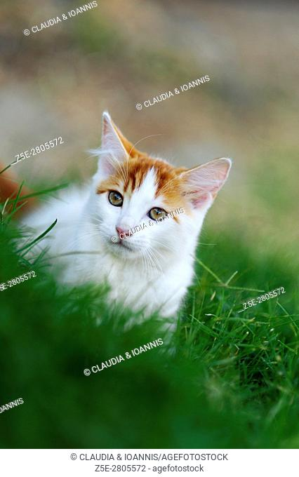 Young cat stalking in the grass