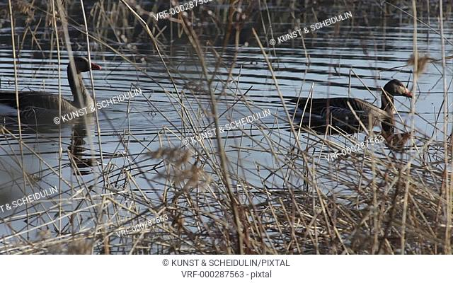 A couple of greylag geese (Anser anser) are slowly swimming through the reeds growing near the shore of a lake in northern Sweden, looking for something edible