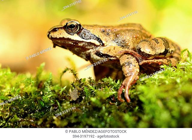 Common frog (Rana temporaria) in Bialowieza forest, Podlasie, Poland