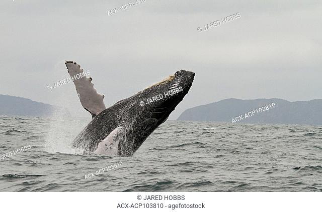 Humpback Whale, Megaptera novaeangliae, West coast, Ecuador