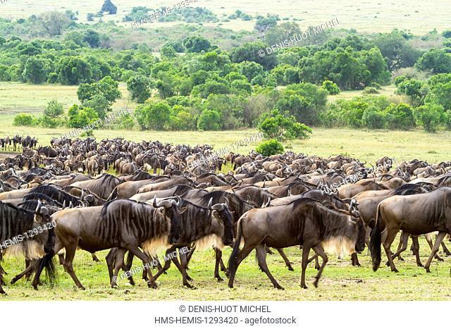 Kenya, Masai Mara national reserve, wildebeest (Connochaetes taurinus), Migration