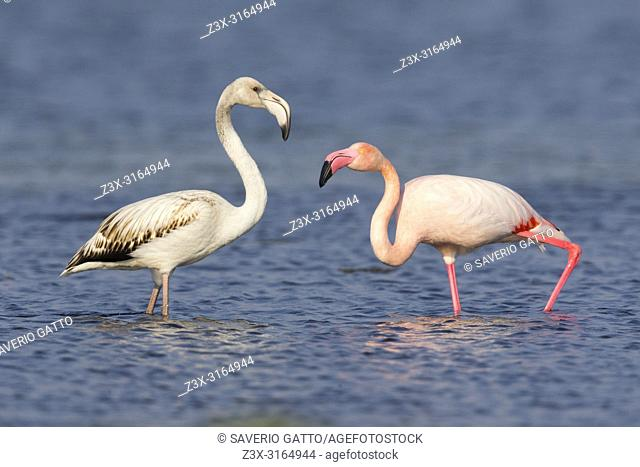 Greater Flamingo (Phoenicopterus roseus), Juvenile and adult standing in the water, Salalah, Dhofar, Oman