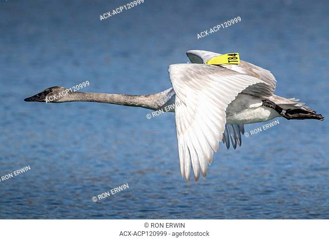 First-winter Trumpeter Swan (Cygnus buccinator) in flight over Lake Ontario, Toronto, Ontario, Canada