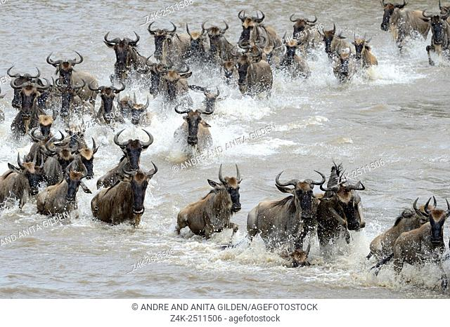 Blue Wildebeest (Connochaetes taurinus) herd during crossing the Mara river, Serengeti national park, Tanzania