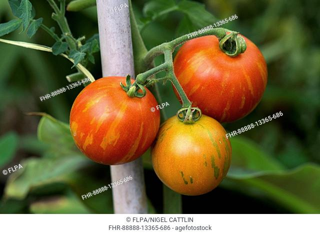 Ripe and ripening tomato fruits variety 'Tigrella' on the vine supported by a cane, Berkshire, August