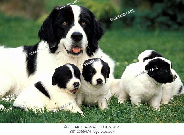 Landseer Dog, Mother with Pup