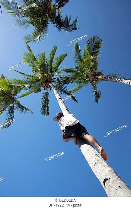 man climbing a coconut tree, bacuit archipelago, palawan, philippines