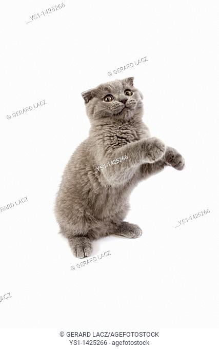 BLUE SCOTTISH FOLD CAT, 2 MONTHS OLD KITTEN PLAYING ON HIND LEGS