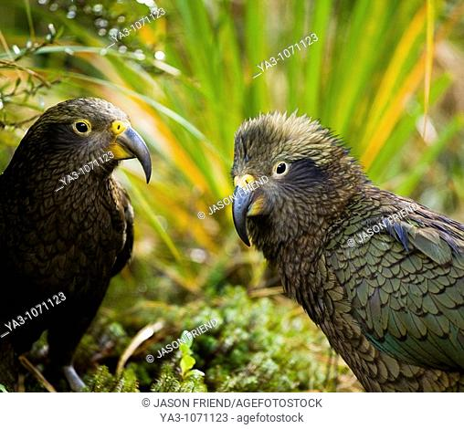 New Zealand, Southland, Fiordland National Park  A group of Kea , an alpine parrot only found in the mountain environment of the South Island of New Zealand