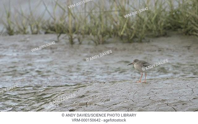 Common redshank (Tringa totanus) on a sandy beach. Filmed in Laugharne, Camarthenshire, Wales