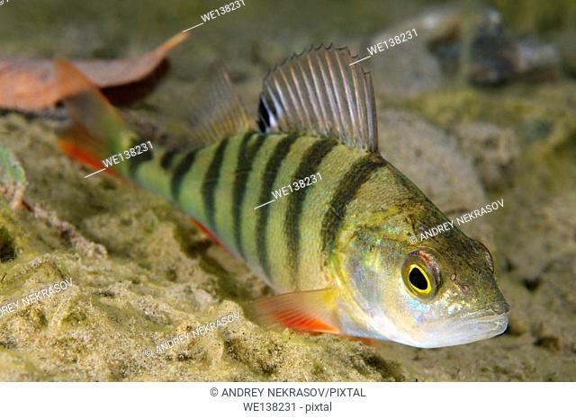 European perch, perch, redfin perch or English perch (Perca fluviatilis) granite quarry Aleksandrovskiy, Ukraine