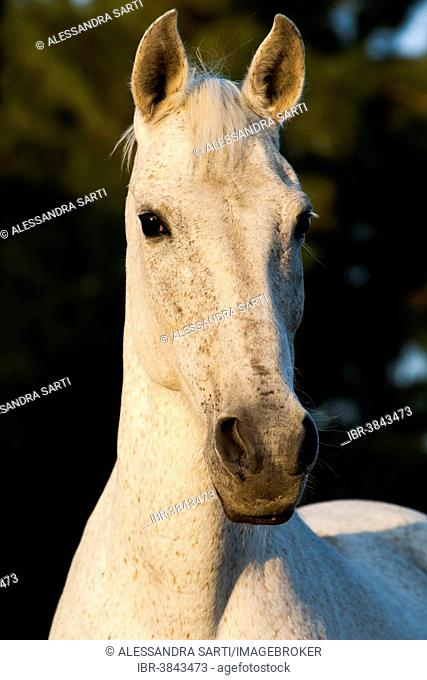 Lusitano horse, mare, white horse, Andalusia, Spain