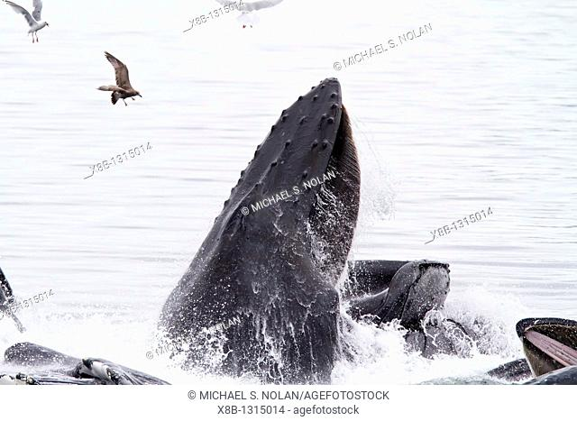 Adult humpback whales Megaptera novaeangliae co-operatively 'bubble-net' feeding along the west side of Chatham Strait in Southeast Alaska