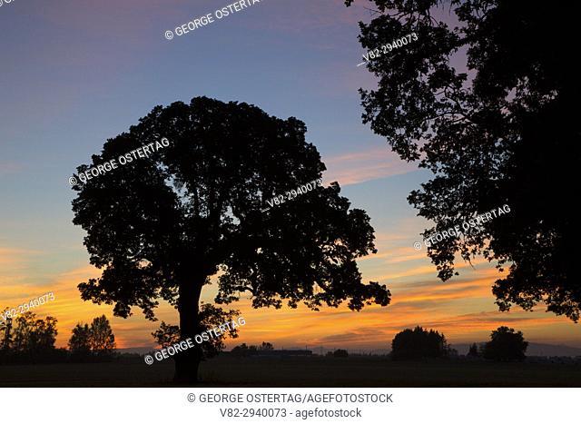 Oak sunrise, Corvallis, Oregon