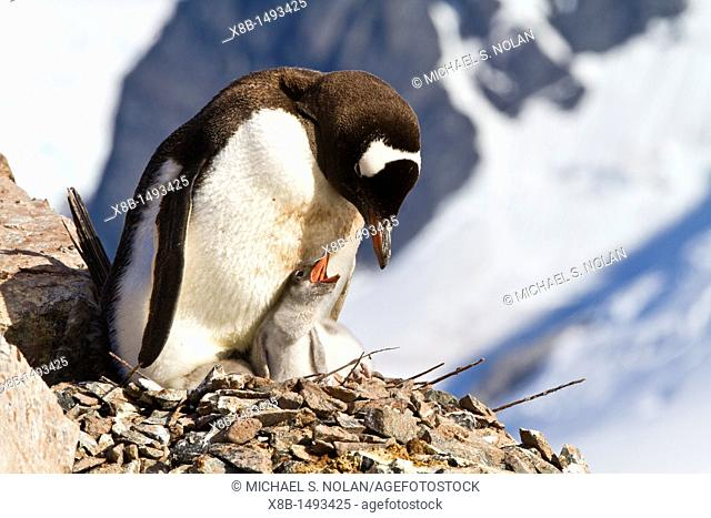 Gentoo penguin Pygoscelis papua adult and chick at Cuverville Island, Antarctica, Southern Ocean  MORE INFO The gentoo penguin is the third largest of all...