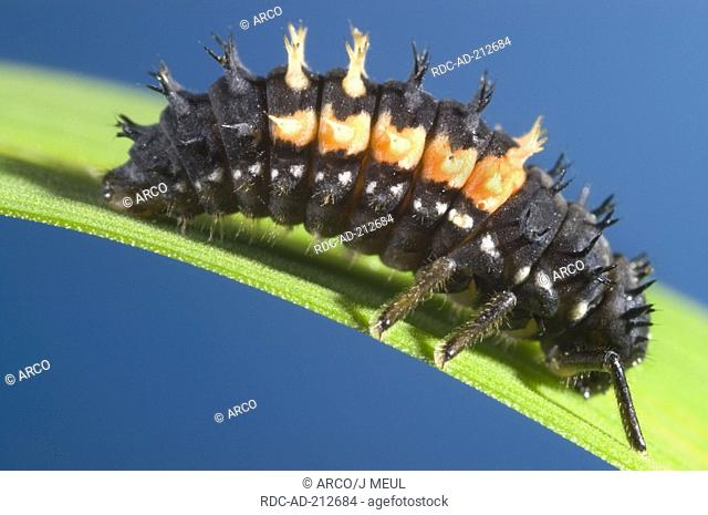 Multicolored Asian Lady Beetle, larva, Harmonia axyridis, Multicolored Asian Lady Bird, side