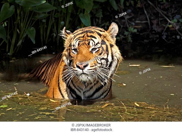 Sumatran Tiger (Panthera tigris sumatrae), adult, in water, native to: Sumatra, Asia